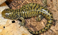 Tiger Salamander… Ok not so fuzzy but my parents have one – One Like Site Reptiles Facts, Les Reptiles, Cute Reptiles, Reptiles And Amphibians, Reptile Eye, Reptile Party, Reptile Crafts, Reptiles Preschool, Axolotl