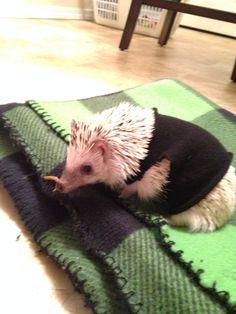 #hedgehog Hedgehog in a sweater