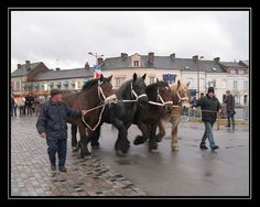 Brabant draft horses. So cool.