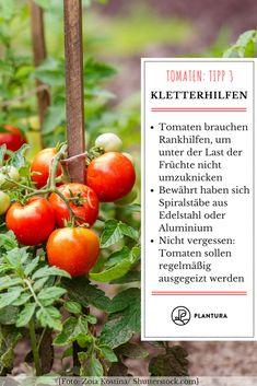 10 Tipps zur perfekten Tomate aus dem eigenen Garten. Tomaten-Tipp 3: Kletterhilfen. Da die Tomaten, mit Ausnahme der Buschtomate, eintriebig gezogen werden, brauchen sie eine Rankhilfe, um unter der Last ihrer Früchte nicht umzuknicken. Bewährt haben sich hierbei Spiralstäbe aus Edelstahl oder Aluminium. Die restlichen 9 Tipps findet Ihr auf Plantura! #Tomaten #10Tipps #Garten