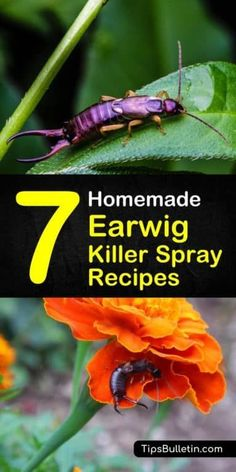Get rid of earwigs in the garden! 8oz water + 2T baking soda in a