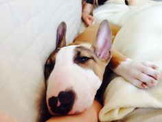 Cute #bull #terrier #puppy LOVE