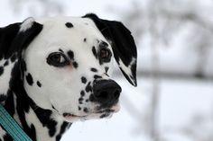 Dalmatian....that sweet face......