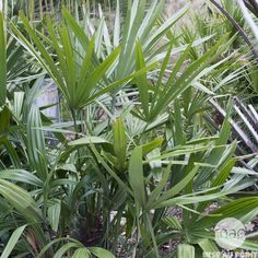Rhapidophyllum hystrix : conteneur 5 litres