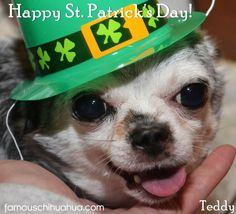 chihuahua t-shirts | ... st. patrick's day to all the fun and fabulous chihuahuas out there