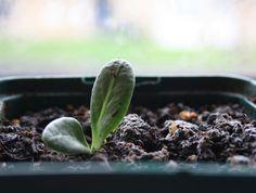 planting artichokes