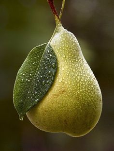 dew drops in pera Fruit And Veg, Fruits And Vegetables, Fresh Fruit, Photo Fruit, Pyrus, Fruit Photography, Beautiful Fruits, Delicious Fruit, Fruit Art