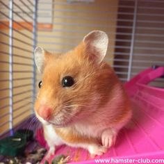 Smiling Hamster