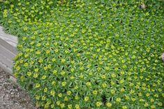 Les AZORELLA trifurcata offrent un large choix d'utilisation : en talus, bordures, rocailles... Le feuillage est persistant. Les feuilles sont de couleur verte, luisantes. Elles sont très découpées, disposées en rosettes et très courte, environ 1,5 cm de long.  La plantation en situation ensoleillée est préférable. C'est dans un sol sec qu'elles se plaisent le plus.