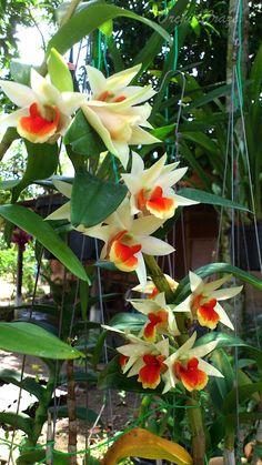 Dendrobium 'Dawn Maree'