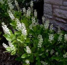 Clethra alnifolia - shade gardens, going to get some of this
