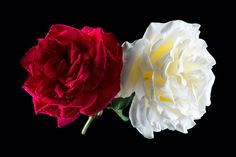 Two Roses - Two beautiful roses, in contrasting deep red and creamy white colours. Picked from my garden!