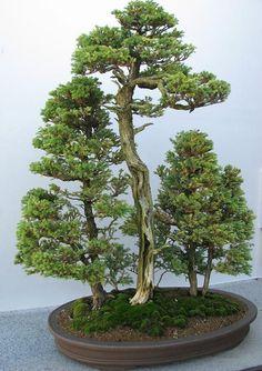 Chicago botanic garden: pine bonsai.