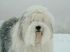Snow10 Kinds Of Dogs, All Dogs, Dogs And Puppies, Lovely Creatures, All Gods Creatures, Sheep Dogs, Doggies, Cat Paws, Dog Cat