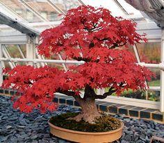 die besten 25 maple bonsai ideen auf pinterest. Black Bedroom Furniture Sets. Home Design Ideas