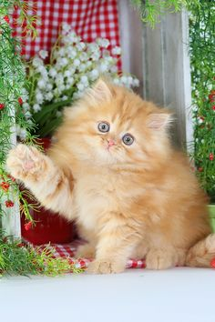 Persian Cat For Sale cute fluffy orange kitten waving Hi - To view all of our currently available Red Persian kittens on our website. Persian Cats For Sale, Persian Kittens, White Kittens, Cats And Kittens, Ragdoll Kittens, Tabby Cats, Bengal Cats, Black Cats, Cute Cats And Dogs