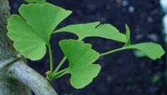 De Ginkgo is een aparte boom. Hij behoort tot de coniferen maar ziet er totaal anders uit. Op de website van Cor Kwant is alle informatie over deze bijzondere boom te vinden.