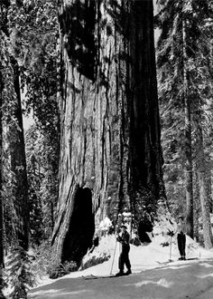 Big Trees in Snow by Ansel Adams