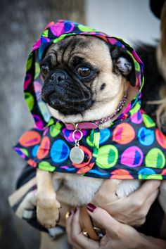 Pug Raincoat for Lola
