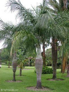 Buccaneer Palm Trees (Pseudophoenix sargentii)