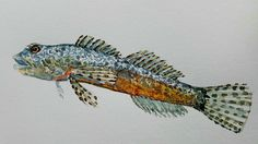 FreshWater Fish Watercolor by Frits Ahlefeldt, FritsAhlefeldt.com #watercolour #fishing #painting #animals