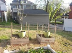 Dwarf fruit trees do fine in containers
