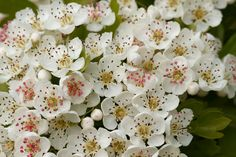 Hawthorn - Known as Mary's Flower of May; Mary was revered as Our lady of all growing and living things.