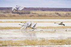 Swans In Flight Photograph by Priya Ghose - Swans In Flight Fine Art Prints and Posters for Sale - Tundra Swans flap and surge into flight at Tule Lake National Wildlife Refuge in the Klamath Basin. #swans #birds #photography