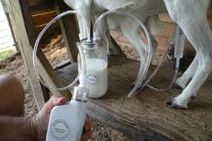 Battery powered goat milker - Dansha Farms.  Milk travels from teat cup through hose directly into glass jar to eliminate hair, dirt, etc. from getting into milk.