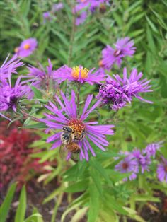 Honey bee pollinating Italian aster flower 9.23.16