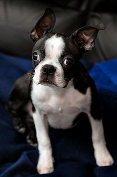 Gotta love the Boston's crazy eyes! (They can give you a look like no other dog can.)
