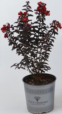 Fill your landscape with months of color and the vibrant red blossoms of our Black Diamond Crape Myrtle Trees. Myrtle Tree, Fast Growing Trees, Planting Shrubs, Lawn And Garden, Garden Fences, Hardy Plants, Drought Tolerant Plants, Soothing Colors, Tree Shapes