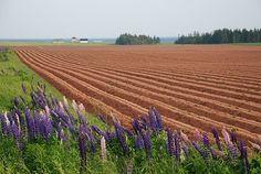 Lupines next to a potato field, Prince Edward Island Canada
