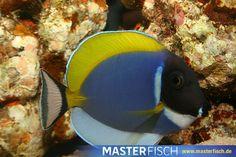 Weißkehl-Doktorfisch - Acanthurus Leucosternon - Aquarientiere auf MasterFisch online kaufen Beautiful Creatures, Fish, Pets, Animals, Fish Fin, Types Of Animals, Animales, Animaux, Pisces