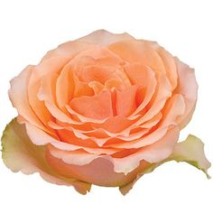 Our Versilia Peach Rose is vibrant and bright with a large, exceptional bloom. The ruffled petals are a lovely peach with hints of yellow-orange on its outer ed