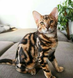 Exotic Bengal Cat Gallery Ideas - Bengal Cats Marbled Bengal looks just like Pe. - Exotic Bengal Cat Gallery Ideas – Bengal Cats Marbled Bengal looks just like Penny as a kitten! Cute Cats And Kittens, Cool Cats, Kittens Cutest, Bengal Kittens, Funny Kitties, Grumpy Cats, Kittens Playing, Pretty Cats, Beautiful Cats
