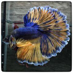 Halfmoon Betta Auctions - Fri May 22 2020 Bing Bong, Home Aquarium, Beta Fish, Siamese Fighting Fish, Halfmoon Betta, Water Life, Angel Fish, Sea World, Nature