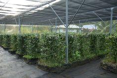 Vanilla Bean Grows Where | photo Vanilla bean cultivation