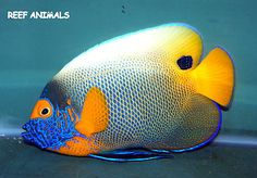 """BLUEFACE ANGEL 5"""" (Pomacanthus xanthometopon) live saltwater fish angelfish"""