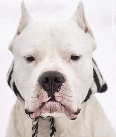 Pitbull Terrier, Boston Terrier, Bull Terriers, Dog Argentino, American Pit, Pit Bulls, Big Dogs, Beautiful Dogs, Thor