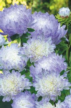 Aster Dutchess Blue Ice. Septembers Flower.