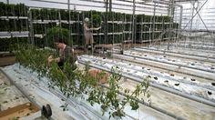 Tomaatintaimet saapuivat ja odottavat istuttamista