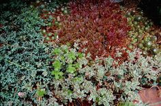This is the delicate little groundcover, Sedum spurium 'Tricolor' in the foreground, scrambling over Blue Rug Juniper and Hens and Chicks (Sempervivums). A great plant for the rock garden, Sedum 'Tricolor' has fleshy green leaves, edged in white, and gets its name because in cooler weather the leaves take on a pink blush.