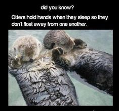Otters Hold Hands When They Sleep Pictures, Photos, and Images for Facebook, Tumblr, Pinterest, and Twitter