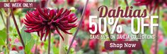 Dahlia Flower Bulbs, save 50% this week only!