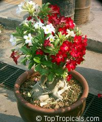 Adenium hybrid, Desert Rose, Impala Lily, Adenium hybrids  Click to see full-size image