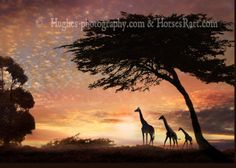 Safari Sunset create from 7 images all taken by Melinda beautiful for wall art printed in metallic with a satin finish. Color Photography, Animal Photography, Wall Art Prints, Fine Art Prints, Giraffe Family, African Sunset, African Paintings, Photorealism, African Animals