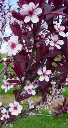 Purple leaf sand cherry. Another easy to grow hardy shrub. Lovely flower show in spring, great deep purple leaves all the rest of the time. Grows quickly and responds well to pruning. I've had a bit of trouble with insects on the leaves but they were easily treated and the shrub pulled through nicely.