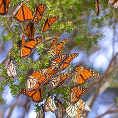 Flying weeds: how the monarch butterfly colonised Australia Plants That Attract Butterflies, How To Attract Birds, Australian Plants, Australian Animals, Thigh Tat, Flying Insects, Monarch Butterfly, Native Plants, Garden Landscaping
