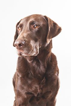 Stevie the chocolate lab dog